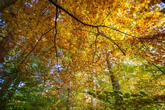 Autumn Deciduous Forest Looking Upwards colorido fotos de archivo libres de regalías