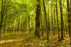 Autumn deciduous forest on a sunny day Stock Photo