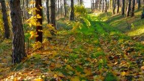 Autumn In Deciduous Tree Forest in anticipo archivi video