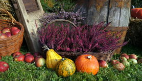 Autumn decoration, pumpkins, squash, apples and heather. Autumn decoration, orange, yellow and green pumpkins, winter squash, red apples, purple and violet Royalty Free Stock Photography
