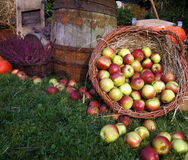 Autumn decoration, wooden barrel, red and green apples in a wicker basket on straw, pumpkins, squash, heather flowers stock photos