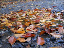 Autumn leaves rain. It is deep autumn. Leaves in a puddle. After rain still Royalty Free Stock Images