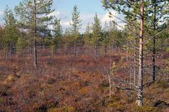 Autumn in Deep Taiga Forest, Finland Royalty Free Stock Image