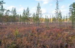 Autumn in Deep Taiga Forest, Finland Royalty Free Stock Photo