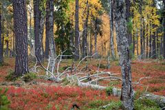 Autumn in Deep Taiga Forest, Finland Stock Images
