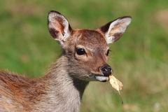 Autumn deer Royalty Free Stock Photos