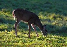 Autumn Deer che pasce in un campo di erba Fotografia Stock