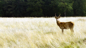 Autumn Deer in Richmond Park royalty free stock image