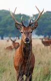 An Autumn Deer In Richmond Park Royalty Free Stock Photography