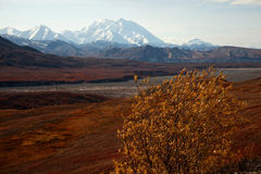 Autumn in Denali and yellow tree Royalty Free Stock Photography
