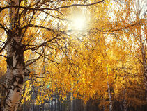 Autumn dense forest, landscape background Stock Photography