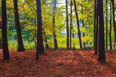 Autumn depths forest trees colorful leaves Royalty Free Stock Image