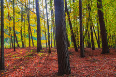 Autumn depths forest trees colorful leaves Stock Image