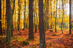 Autumn depths forest trees colorful leaves Royalty Free Stock Photos