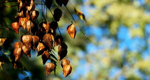 Autumn details. Autumn morning, blue sky and still green leaves Royalty Free Stock Photo