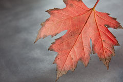 Autumn Dew. A flame-coloured autumn leaf with water droplets shot in the studio Stock Image