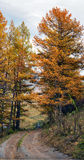 Autumn dirt road larch forest Royalty Free Stock Photos