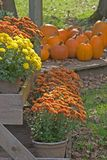 Autumn Display. Of Pumpkins and Mums Stock Photos