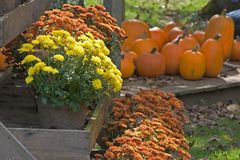 Autumn Display. Of Mums and Pumpkins Royalty Free Stock Images
