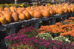 Autumn Display. Of Pumpkins and Mums Stock Image