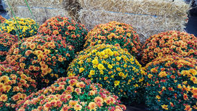 Autumn Display Background Seasonal Potted Mums Royalty Free Stock Photography