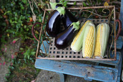 Autumn display of corn on the cob and aubergines Royalty Free Stock Image
