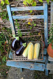 Autumn display of corn on the cob and aubergines Royalty Free Stock Images