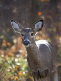 Autumn doe. Whitetail female on the edge of a fall forest royalty free stock image