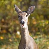 Autumn doe. Whitetail doe near a forest edge in fall royalty free stock photo