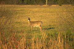 Autumn Doe. This doe is the alpha female of a herd that frequents the field across from my shop.  I had just finished work when I spotted her leading the herd Royalty Free Stock Photos