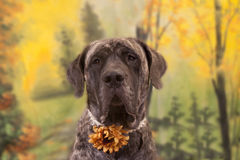 Autumn dog Royalty Free Stock Photos