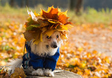 Autumn dog Stock Images