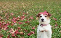 Autumn Dog CONDIZIONE DEL CUCCIOLO DI JACK RUSSELL SU DUE GAMBE POSTERIORI ED ELEMOSINARE SUL PREGARE GESTO CON LE SUE ZAMPE ANTE fotografia stock