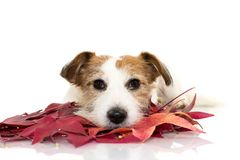 AUTUMN DOG. CUTE JACK RUSSELL LYING DOWN PLAYING WITH RED COLORFUL AUTUMN LEAVES, LOOKING AT CAMERA. ISOLATED SHOT AGAINST WHITE royalty free stock images