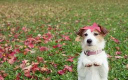 AUTUMN DOG. JACK RUSSELL PUPPY STANDING ON TWO HIND LEGS AND BEGGING ON PRAYING GESTURE WITH ITS FRONT PAWS ON FALL LEAVES GRASS.  stock photo
