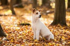 Autumn dog stock images