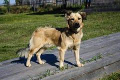 Autumn dog  Royalty Free Stock Photography