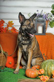 Autumn dog with pumpkins Royalty Free Stock Image