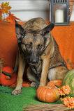 Autumn dog with pumpkins Royalty Free Stock Images