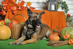 Autumn dog with pumpkins Stock Image
