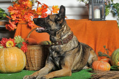 Autumn dog with pumpkins Stock Photos