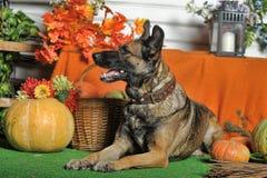 Autumn dog with pumpkins Stock Photos