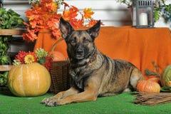 Autumn dog with pumpkins Stock Images