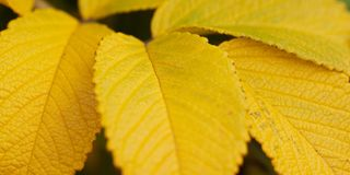 Autumn dog rose leaf, close-up. Beautiful autumn leaf of wild rose, close-up royalty free stock photography