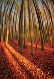 Autumn dreaming. Beech forest full of color in autumn time Stock Photos