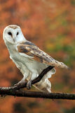 Autumn Dreams. Closeup of a Barn Owl against blurred autumn background Royalty Free Stock Image
