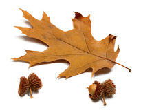 Autumn dried leaf of oak and acorns Stock Image