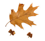 Autumn dried leaf of oak and acorns Royalty Free Stock Images