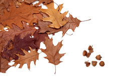 Autumn dried leafs of oak and acorns Stock Photos