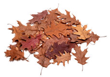 Autumn dried leafs of oak Stock Photos